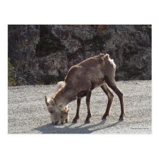 Bebé el Yukón Canadá de la mamá de las ovejas de Postal