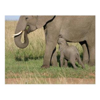 Bebé elefante chupa leche de la madre postal