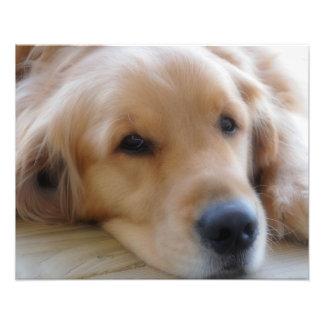 Bebé, impresión de la foto del perro del golden fotografía