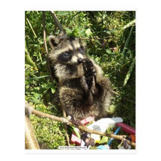 Bebé rescatado y rehabilitado del mapache postales