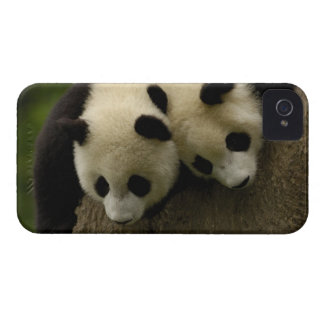 Bebés de la panda gigante (melanoleuca del Ailurop iPhone 4 Case-Mate Protectores