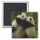 Bebés de la panda gigante (melanoleuca del Ailurop Imán De Nevera