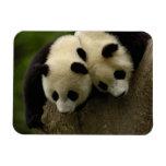 Bebés de la panda gigante (melanoleuca del Ailurop Imanes Rectangulares