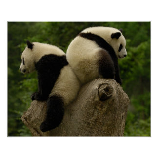 Bebés de la panda gigante (melanoleuca del Ailurop Posters