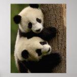 Bebés de la panda gigante (melanoleuca del Ailurop Impresiones