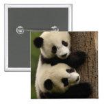 Bebés de la panda gigante (melanoleuca del Ailurop Pin