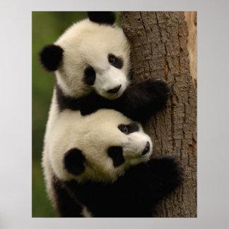 Bebés de la panda gigante (melanoleuca del Ailurop Póster