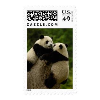 Bebés de la panda gigante melanoleuca del Ailurop