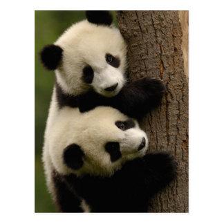 Bebés de la panda gigante melanoleuca del Ailurop Postales