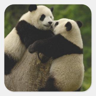 Bebés de la panda gigante (melanoleuca del pegatina cuadrada