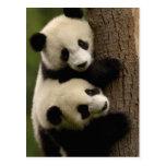 Bebés de la panda gigante (melanoleuca del postal