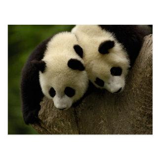 Bebés de la panda gigante (melanoleuca del tarjeta postal