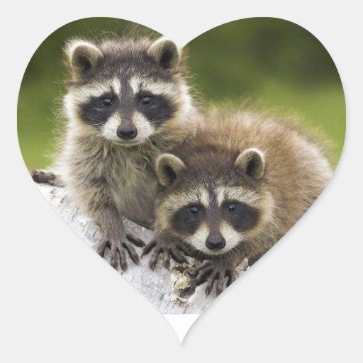 Bebés del mapache pegatina corazon