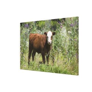 Becerro de Hereford (tauro del Bos) en pasto de la Lona Envuelta Para Galerías
