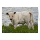 Becerro de la carne de vaca tarjeton