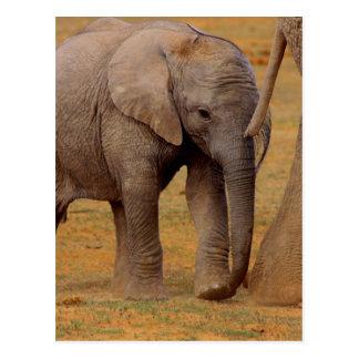 becerro del elefante postal