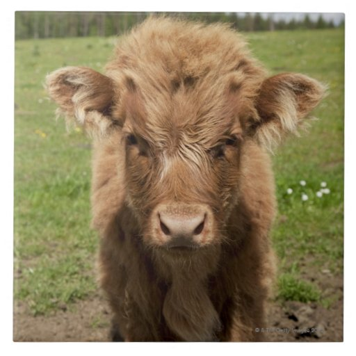 Becerro del ganado de la montaña, cerca de azulejo cuadrado grande