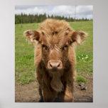 Becerro del ganado de la montaña, cerca de Dufftow Impresiones