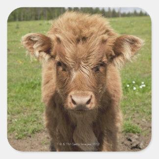 Becerro del ganado de la montaña, cerca de pegatina cuadrada