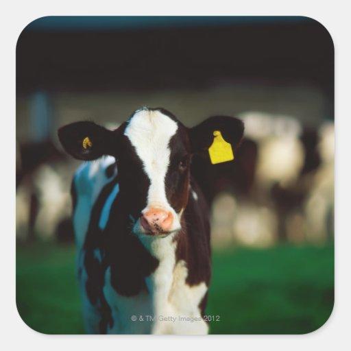 Becerro del Holstein-frisón Pegatina Cuadrada