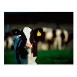 Becerro del Holstein-frisón Tarjetas Postales