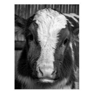 Becerro Joven de la lechería de Holstein en blanco Tarjeta Postal
