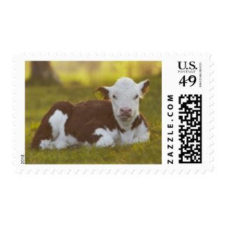 Becerro que descansa en paisaje rural sellos