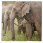 Becerro que juega con adultos, Corbett del elefant Tejas Cerámicas