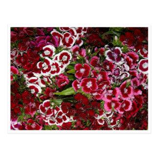 Bed of Pink Dianthus Postcard