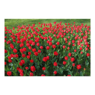 Bed of Red Tulips 01 Poster