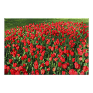 Bed of Red Tulips 02 Poster