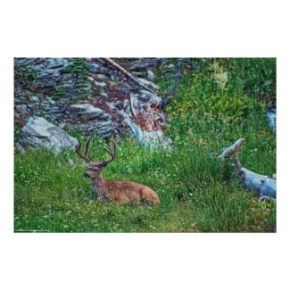 Bedded Buck Poster