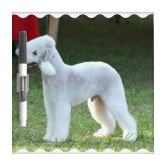 Bedlington Terrier lindo Pizarras Blancas