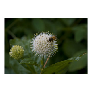 Bee and Buttonbush print