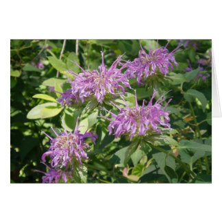 Bee Balm, Monarda Fistulosa Card