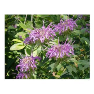 Bee Balm, Monarda Fistulosa Postcard