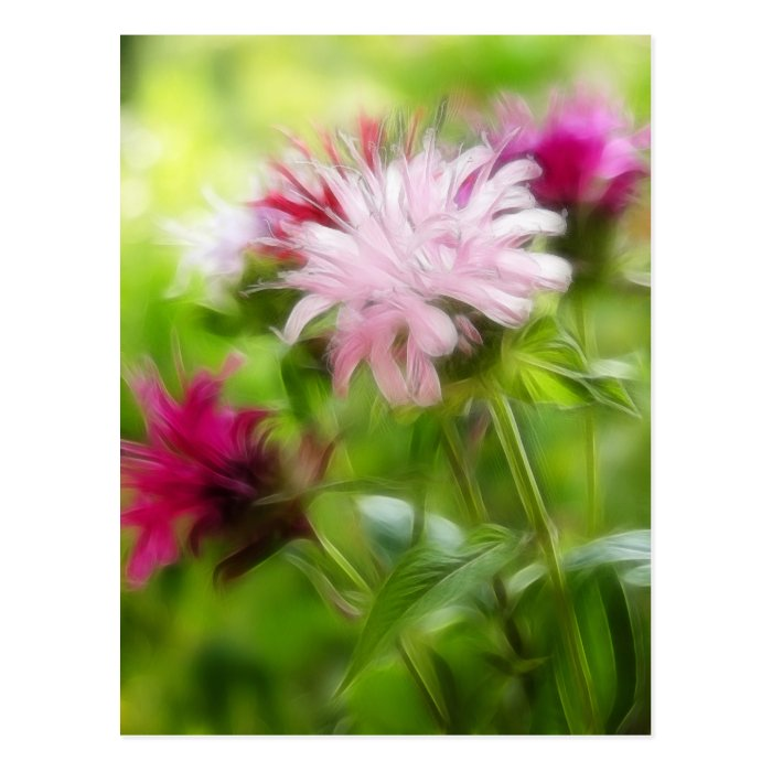 Bee Balm (Monarda) Flowers - Abstract Postcard