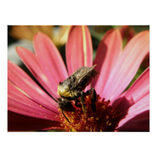 Bee on a Rain Daisy Poster