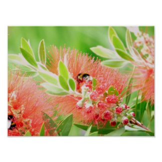 Bee On Bottlebrush Poster