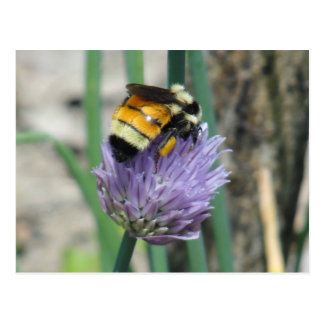 Bee on Chive Postcard