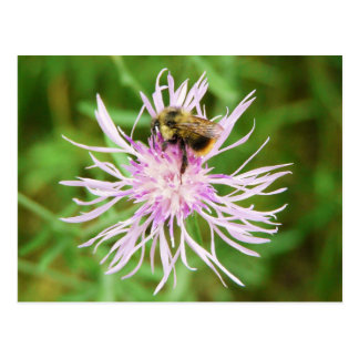 Bee on Flower Blossom Postcard