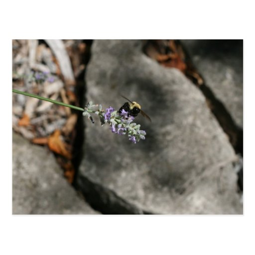 """""""bee on lavender"""" by Coressel Productions Postcard"""