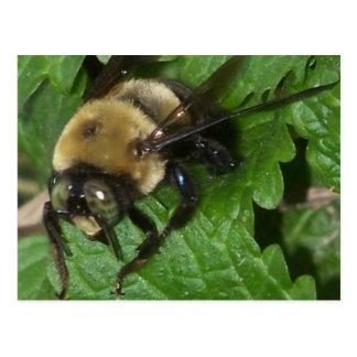 Bee on Lemon Balm Postcards