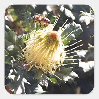 Bee on pale yellow Australian dryandra flower Square Sticker
