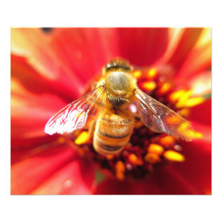 Bee on Red Flower Photo Print