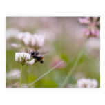 Bee Pollinating Clover Postcard