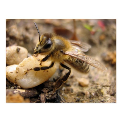 Bee with Pebble Post Cards