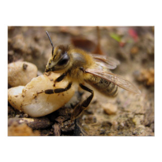 Bee with Pebble Poster