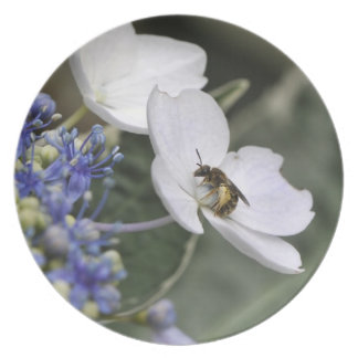 Bee with pollen in a white flower dinner plate