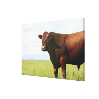 Beef cow in field canvas print